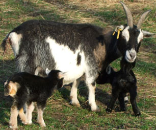 Goat with her kids